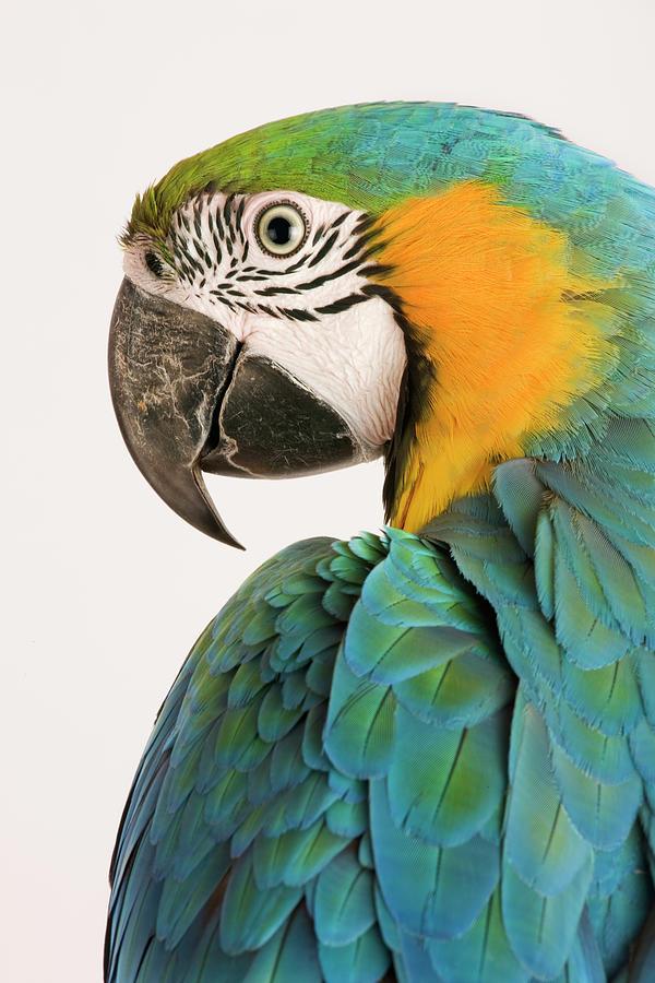 Blue And Gold Macaw Ara Ararauna Photograph by Martin Harvey