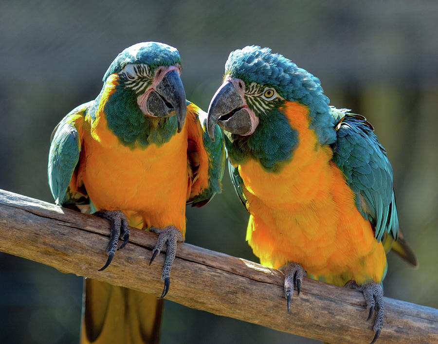 Blue and Gold Macaws by Dave Hilbert