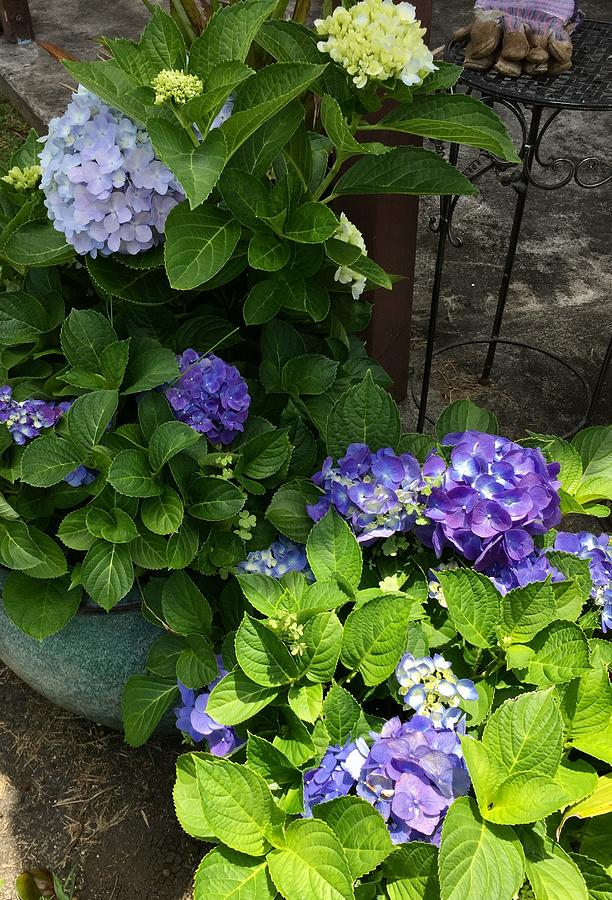 Blue and purple Hydrangeas attraction  by Lehua Pekelo-Stearns