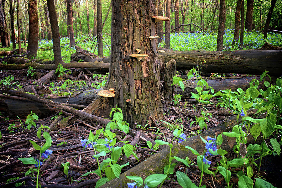 Blue Photograph - Blue Bell Woodlands by Bonfire Photography