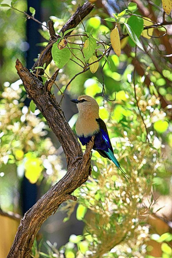 Blue-Bellied Roller Bird by Chris Smith