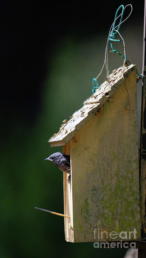 Blue Bird Checking out the New World by Dale Powell