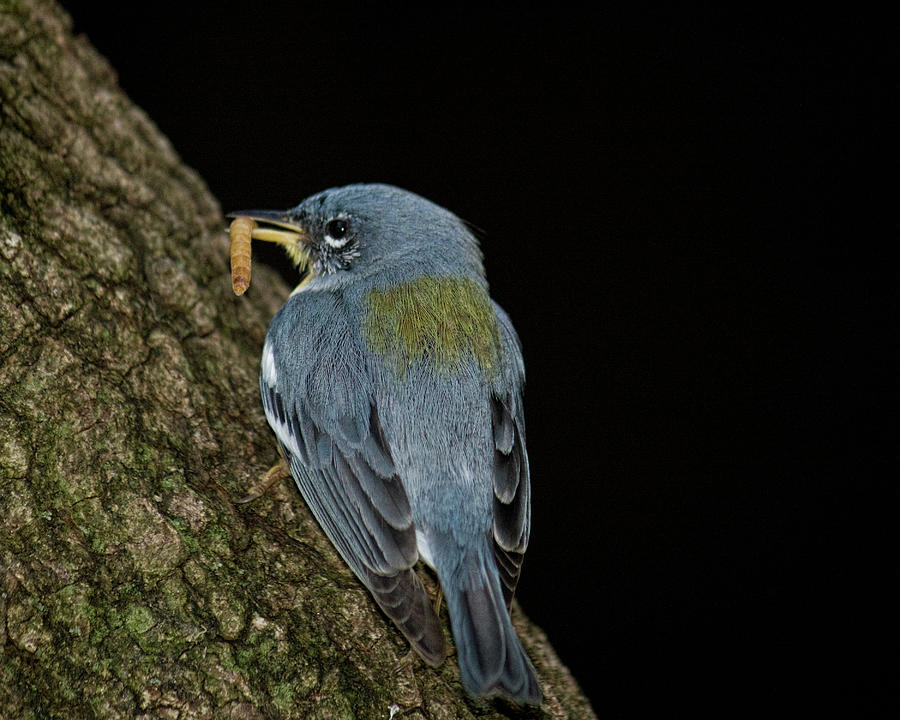 Blue Bird Eating Worm Photograph by Melinda Moore