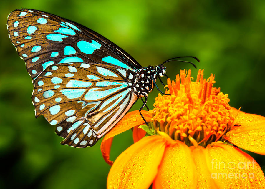 Beauty Photograph - Blue Butterfly Fly In Morning Nature by Anek.soowannaphoom