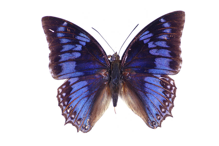 Blue  Butterfly Photograph by Imv