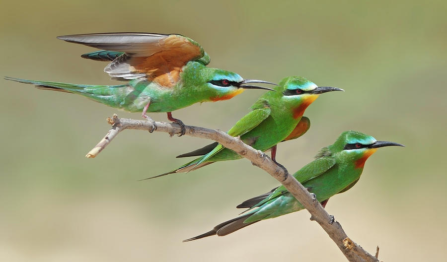 Blue Checked Bee Eaters Photograph by Sulqatar@yahoo.com