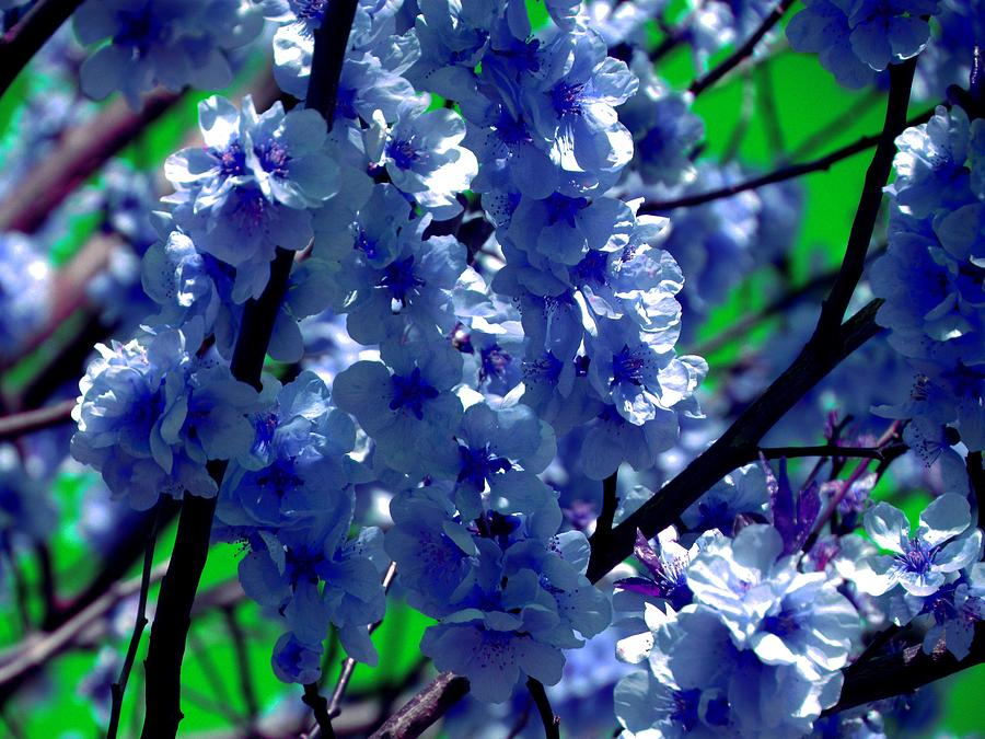 Blue cherry blossom - Colorful nature by Patricia Piotrak