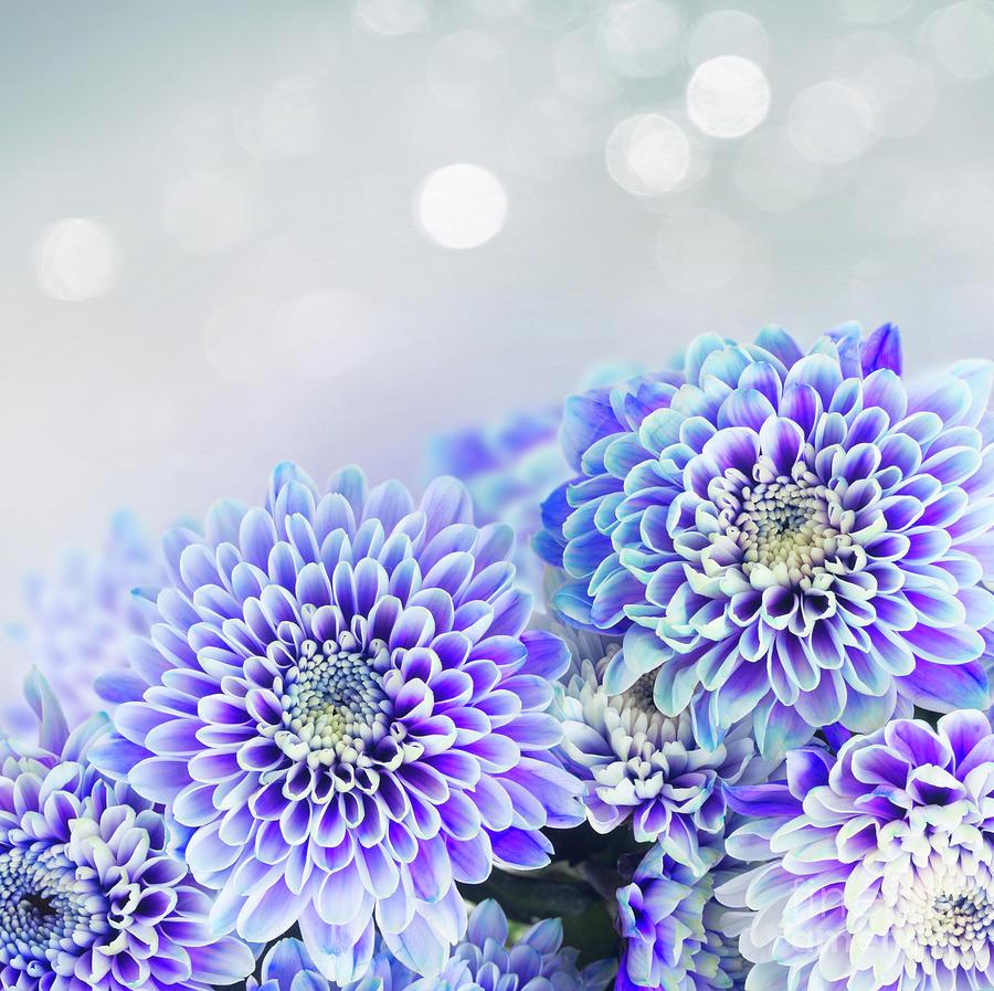 Blue Chrysanthemum Photograph