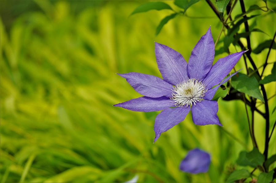 Blue Clematis Photograph