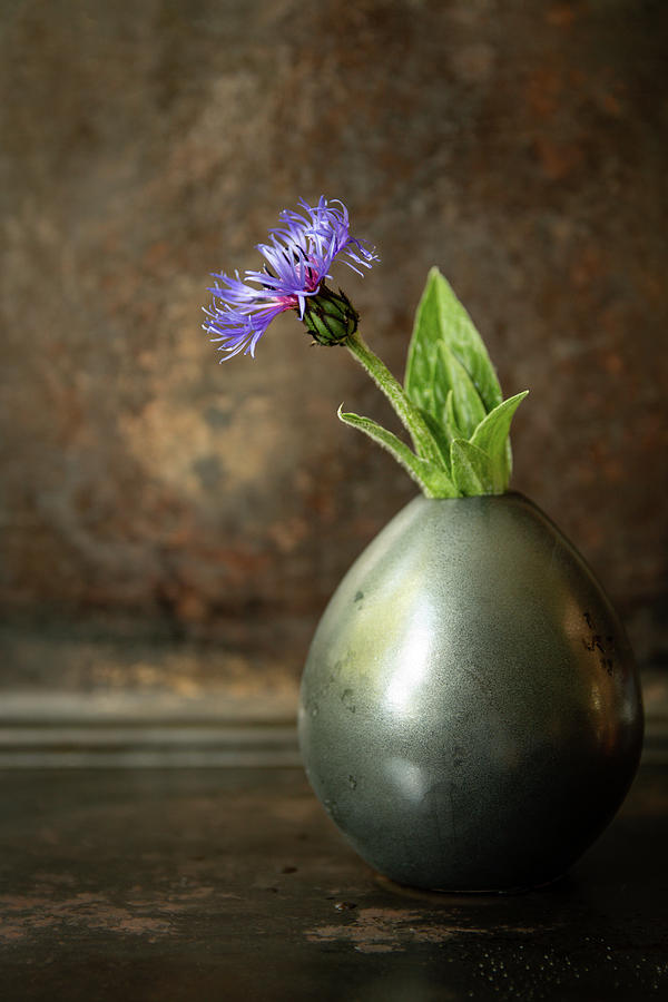 Single Blue Cornflower in vase by Edita Edith Anna Brus