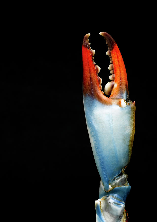Blue Crab Claw, Detail Photograph by Jeffrey Hamilton