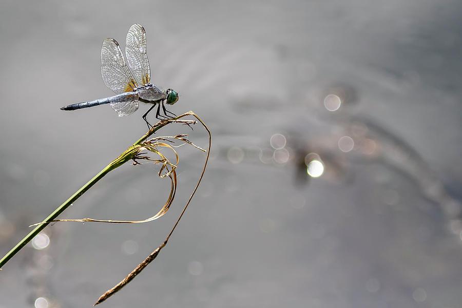 Blue Dasher at Delta Ponds by Belinda Greb