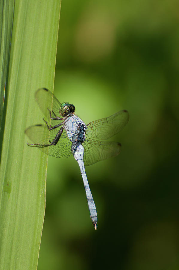 Blue Dasher at Rest by Robert Potts