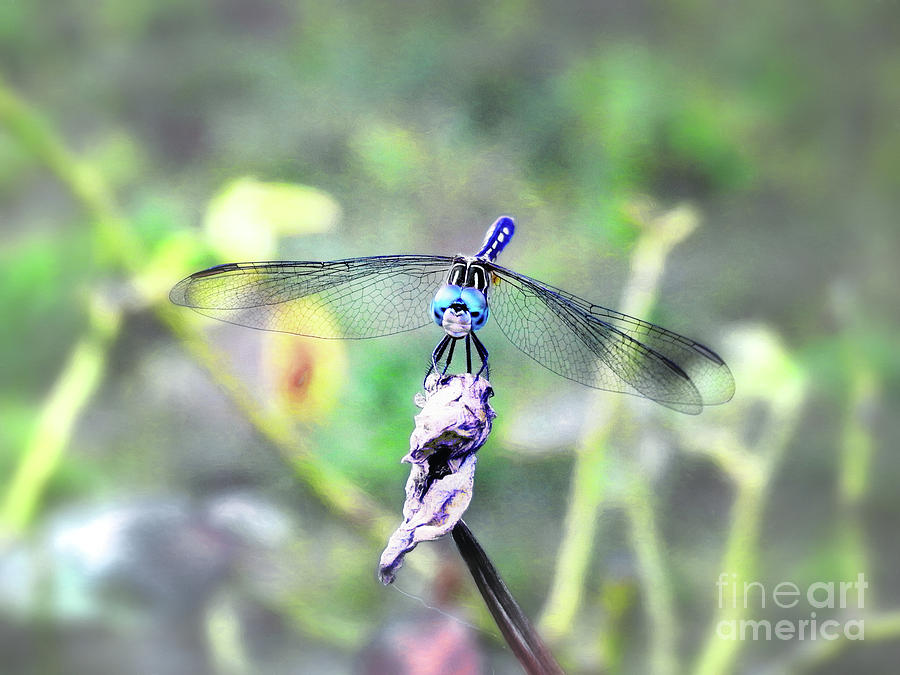 Blue Dasher by Scott Cameron