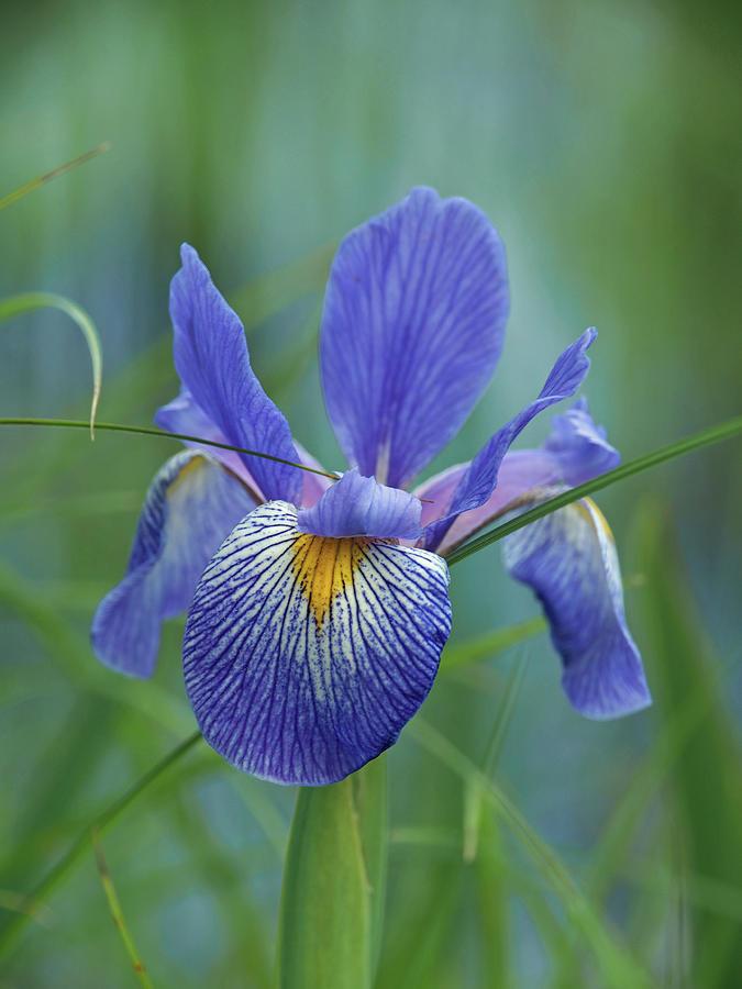 Blue Flag Iris by James Peterson