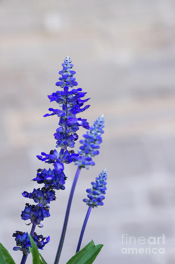 Blue Salvia Flowers by Les Palenik