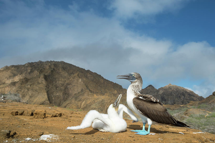 Blue Footed Booby Chick Begging Photograph by Tui De Roy