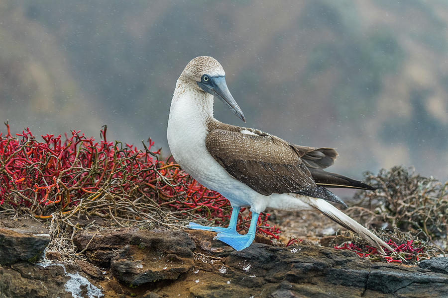 Blue-footed Booby On San Cristobal Island Photograph by Tui De Roy