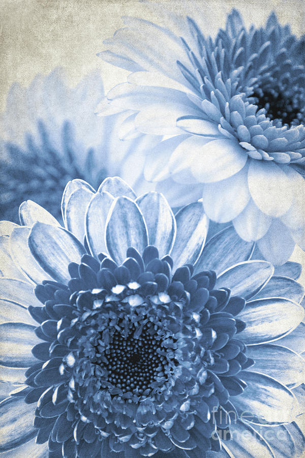 Blue Gerbera by Angela Doelling AD DESIGN Photo and PhotoArt