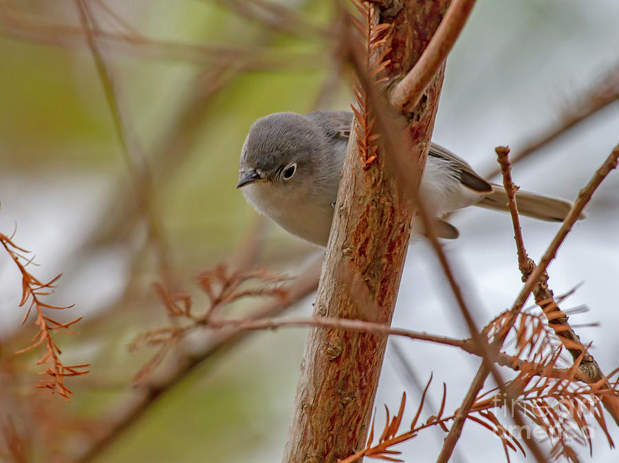 Blue-Gray Gnatcatcher by Blair Howell