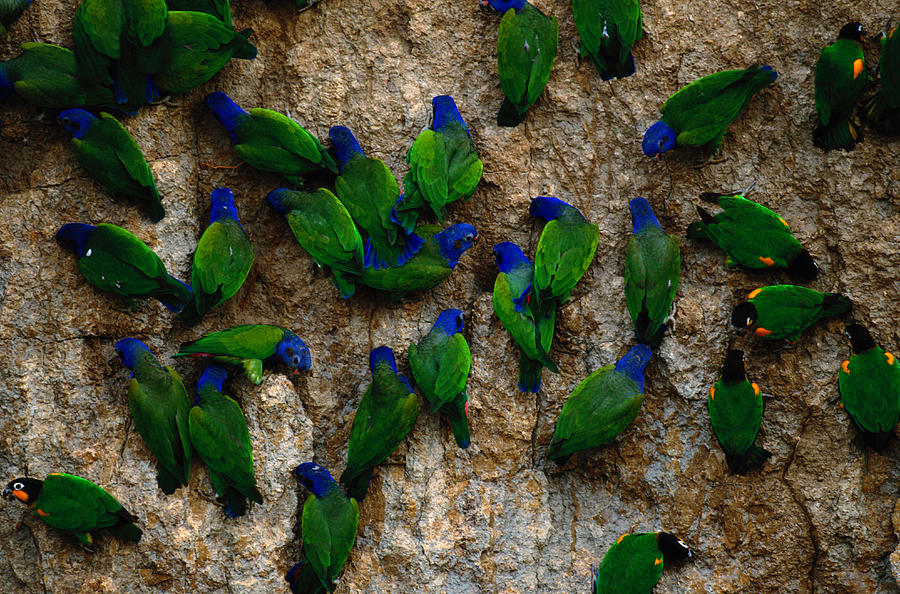 Blue-headed And Barrabands Parrots Photograph by Art Wolfe