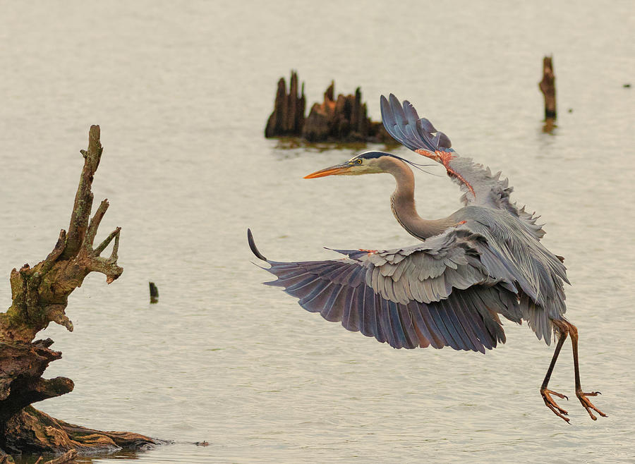 Blue Heron 2 by Richard Kopchock