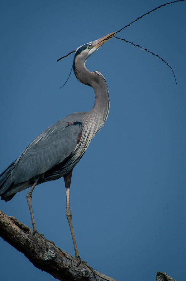 Blue Heron 2011-0322 by Donald Brown