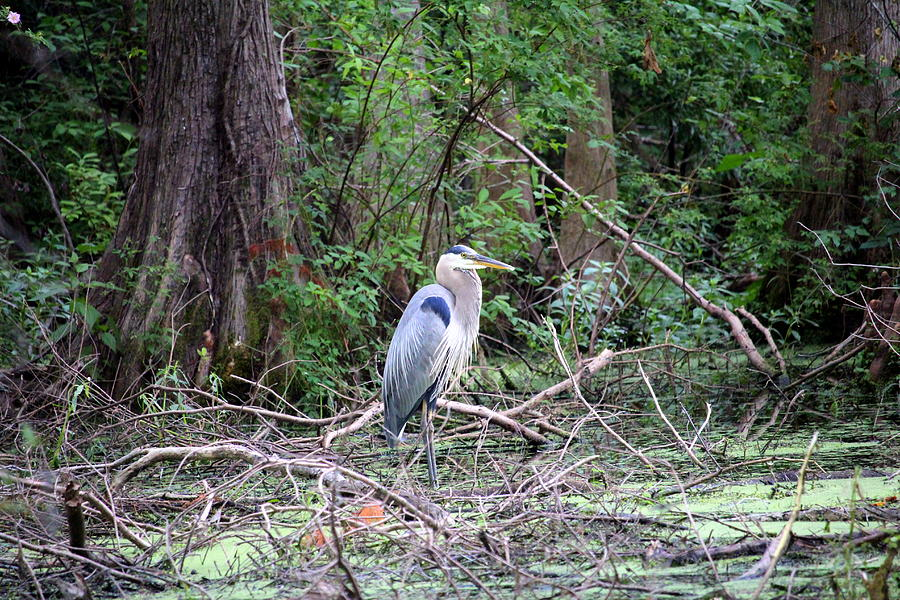 Blue Heron At The Lake by Cynthia Guinn