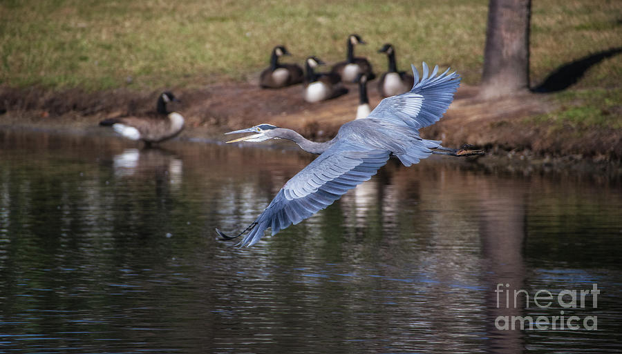 Blue Heron Coming In Hot Photograph