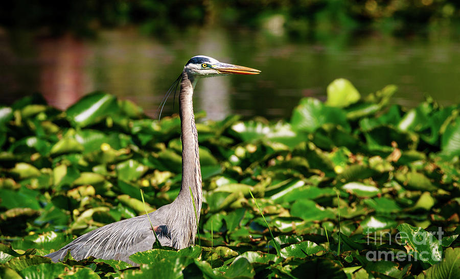 Blue Heron fishing by Joseph Miko