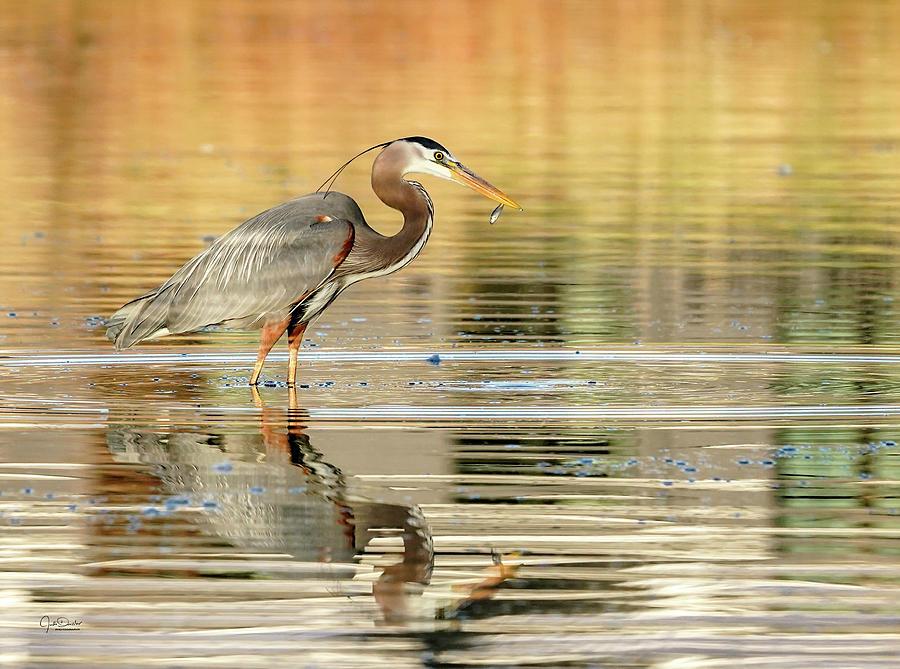 Blue Heron Fishing by Judi Dressler
