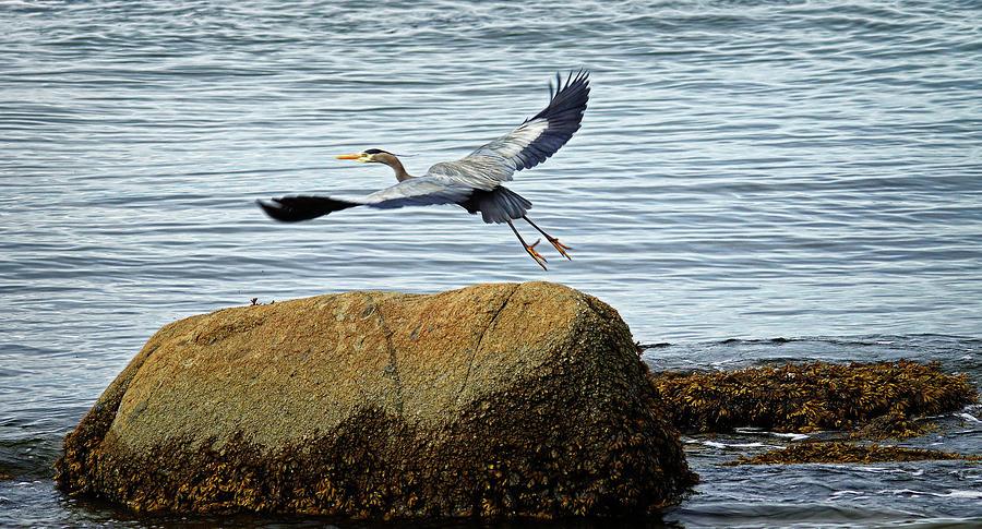 Blue Heron in Flight by Cameron Wood