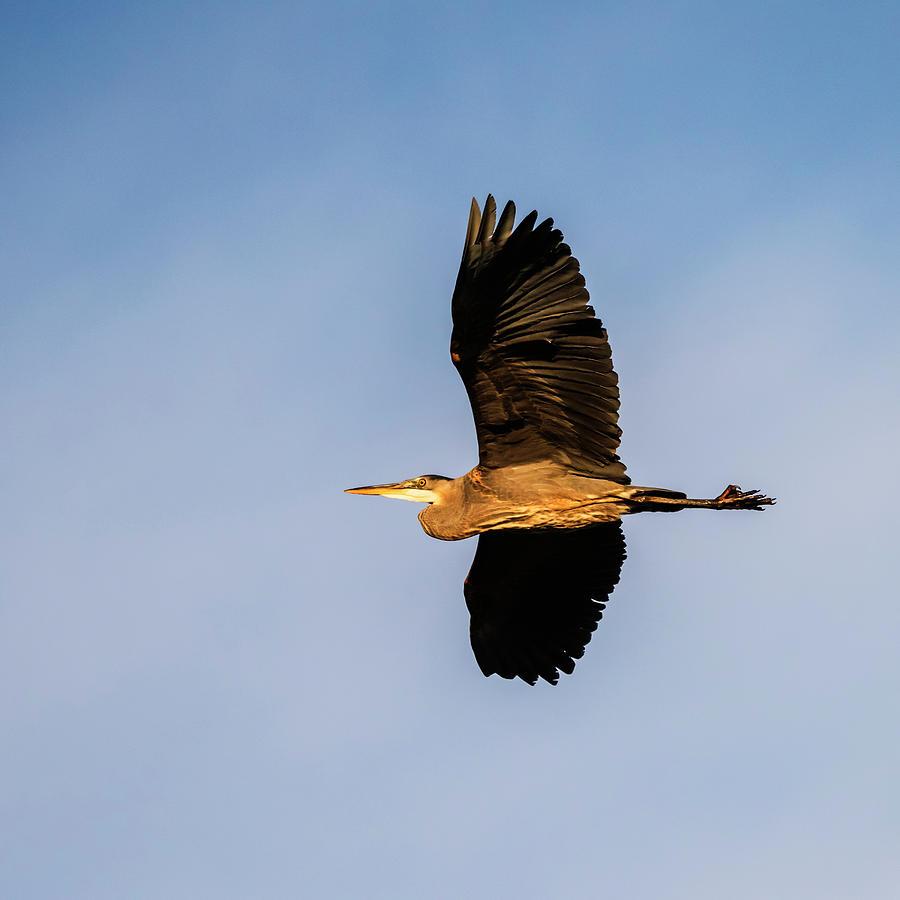 Blue heron in flight by Vishwanath Bhat