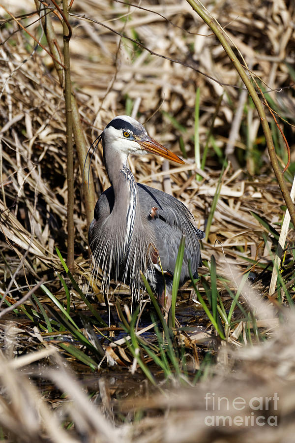 Blue Heron in the Marsh Land by Sue Harper