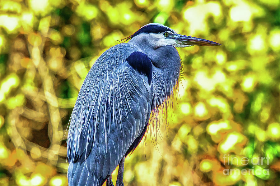 Nature Photograph - Blue Heron by James Foshee