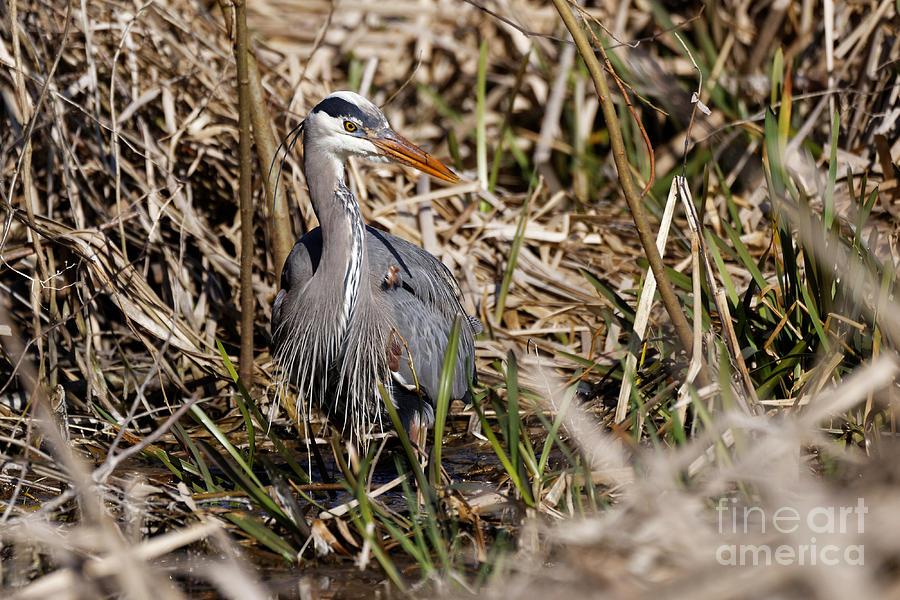 Blue Heron On The Hunt Photograph