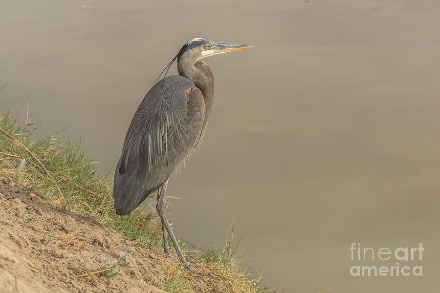 Blue Heron on the Riverbank by Daniel Ryan
