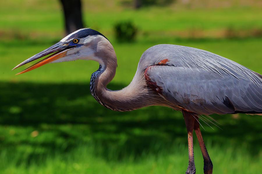 Blue Heron profile by Kevin Banker