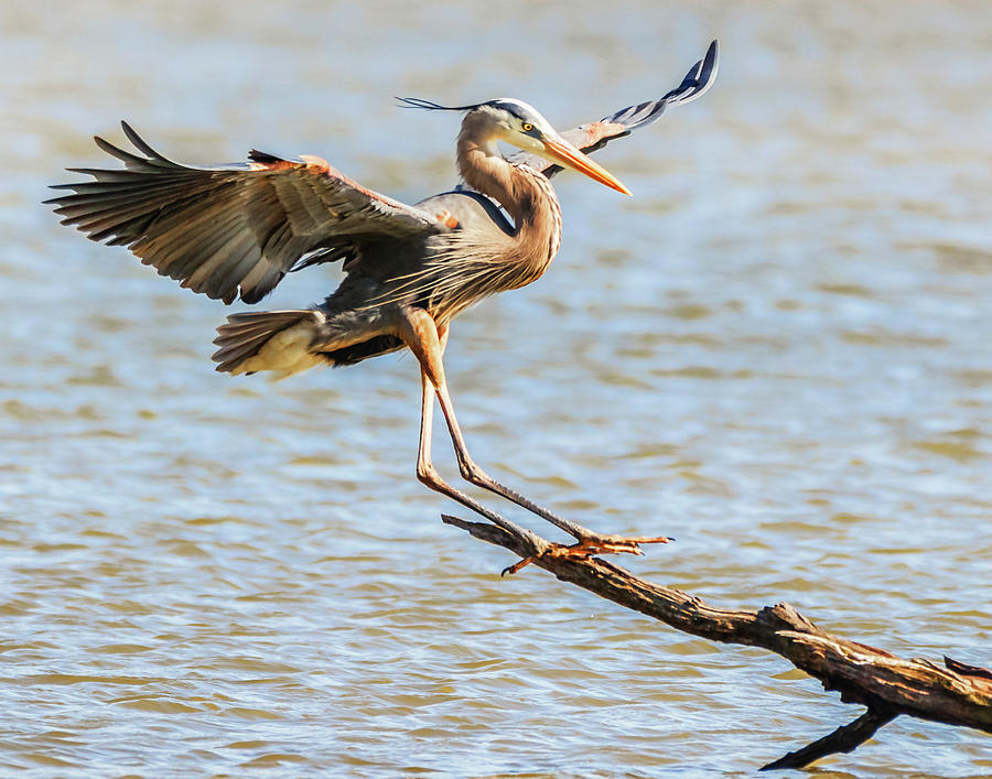 Blue Heron  by Richard Kopchock