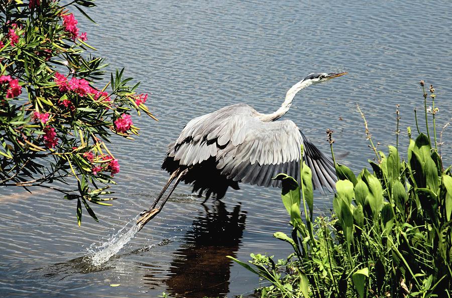 Blue Heron Take Off by Karl Ford