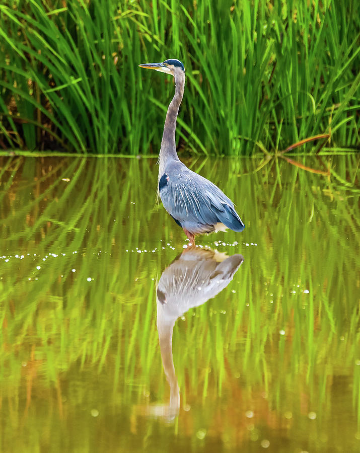 Blue Heron Wading Reflection by Dan Sproul