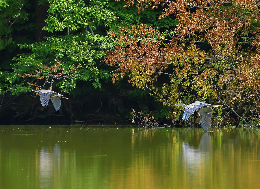 Blue Herons by Chris Busch