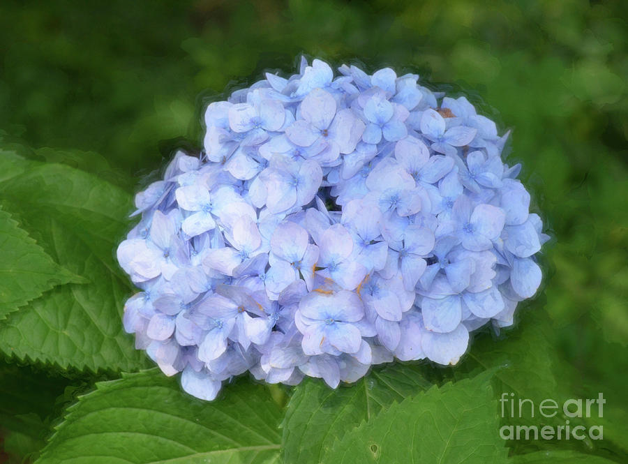 Blue Hydrangea Bush by Kerri Farley