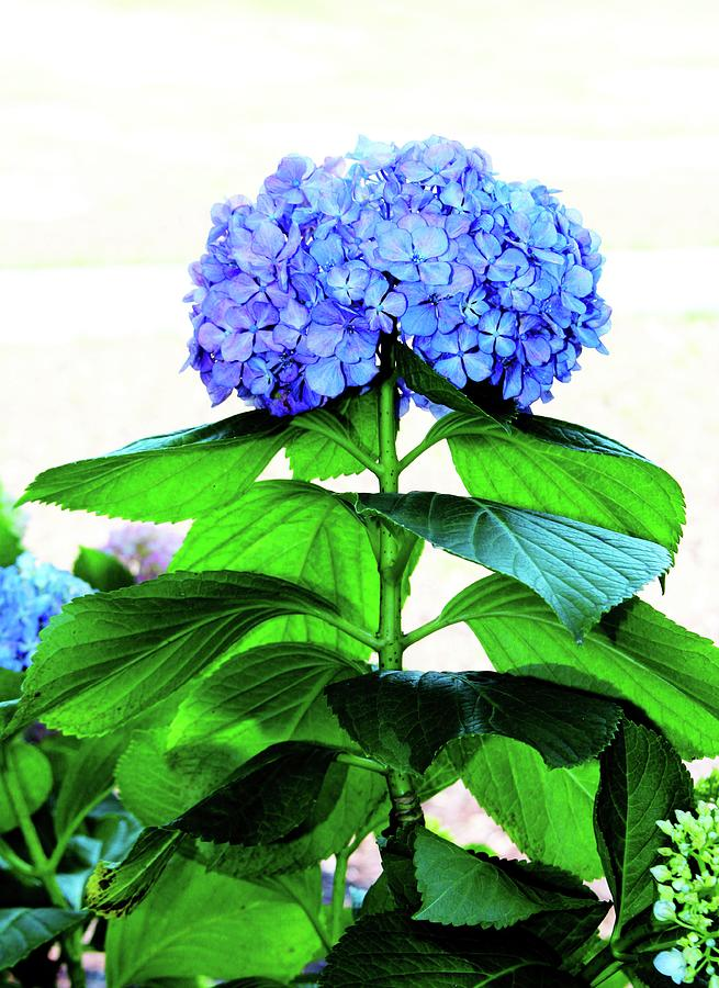 Blue Hydrangea With Green Leaves by Cynthia Guinn
