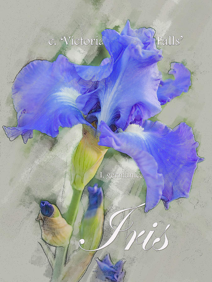 Blue Iris Graphic by Mark Mille