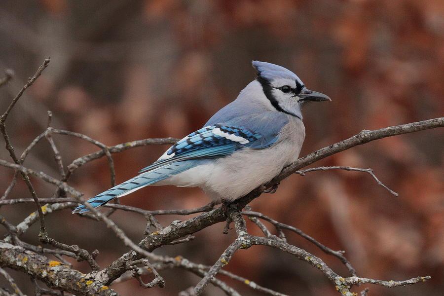 Blue Jay 5967 by John Moyer