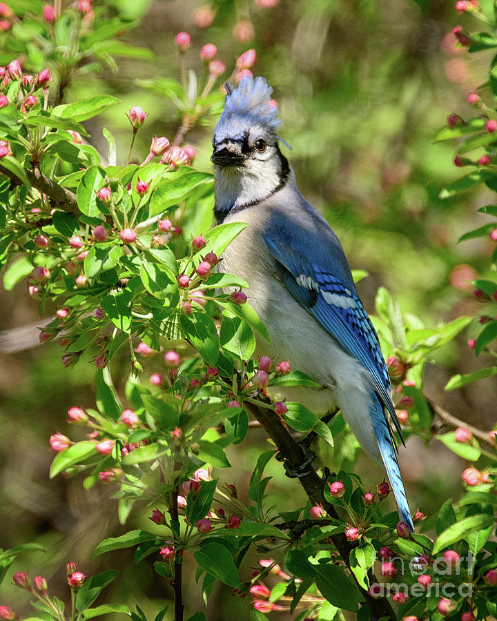 Blue Jay Among Unopened Blossoms by Timothy Flanigan