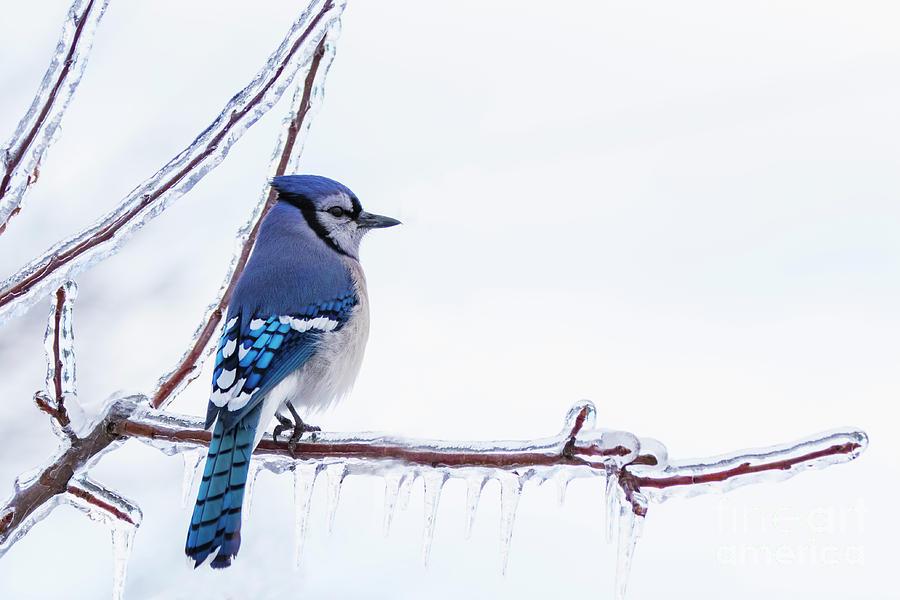 Blue Jay and Freezing Rain  by Mircea Costina Photography