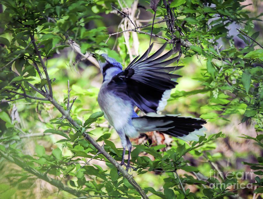 Blue Jay Ballet by Kerri Farley