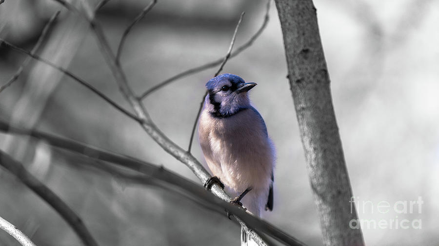 Blue Jay by DHEERAJ MUTHA